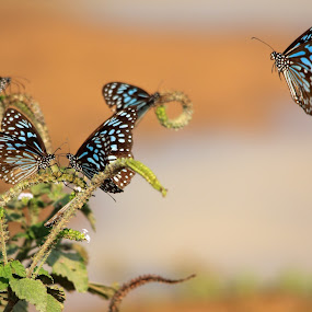 Here I come... by BhanuKiran BK - Animals Insects & Spiders ( flying, butterfly, colorful, blue, wings, blue tiger,  )