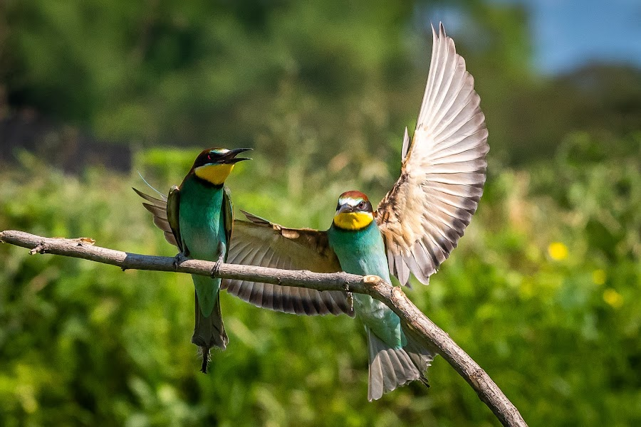 Europian bee-eater by Andrej Kozelj - Animals Birds ( european bee-eater, nature, bird photography, feathers, bird, birds, wild, colorful, wildlife )