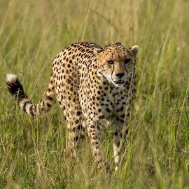Cheetah Headon by Hymakar V - Animals Lions, Tigers & Big Cats ( wild, cheetah, nature, masai mara, kenya, wildlife, africa )