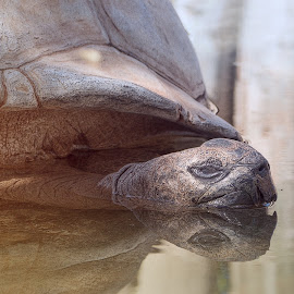 Old Man Turtle by Sheen Deis - Animals Reptiles ( reptiles, nature, turtles )