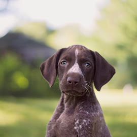 Athena  by Ali Platt - Animals - Dogs Puppies ( german shorthaired pointer, german short-haired pointer, hunting dog, adorable, puppy, cute, dog, portrait,  )