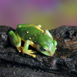 Lil' Dude by Shawn Thomas - Animals Amphibians