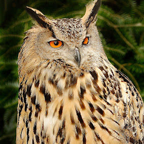 Grand duc by Gérard CHATENET - Animals Birds