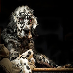 Out of the shadows. by Andrew Lawlor - Animals - Dogs Portraits ( canine, face, attentive, supine, setter, english setter, paws, dog, english, eyes, repose,  )