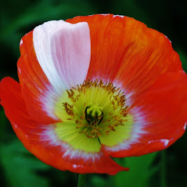 poppy by Sarah Harding - Novices Only Flowers & Plants