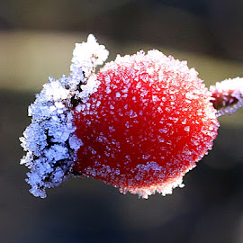 Winter Berry by Chrissie Barrow - Nature Up Close Other Natural Objects ( berry, red, single, nature, white, frost, rosehip, bokeh, closeup )