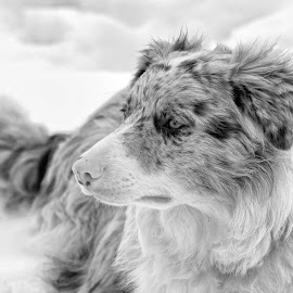 Red-Merle Border Collie by Twin Wranglers Baker - Black & White Animals (  )