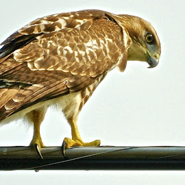 Red Tailed Hawk by Marcy Herrick - Novices Only Wildlife ( Redtal Hawk, Redtail Hawk contest )