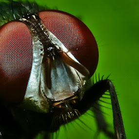 Fly Eyes by Pande Wiguna - Animals Insects & Spiders ( fly, makro )