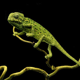 Common Chameleon by Ralph Harvey - Animals Reptiles ( wildlife, ralph harvey, bristol zoo, reptile, animal )