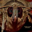 Indian Owl Moth