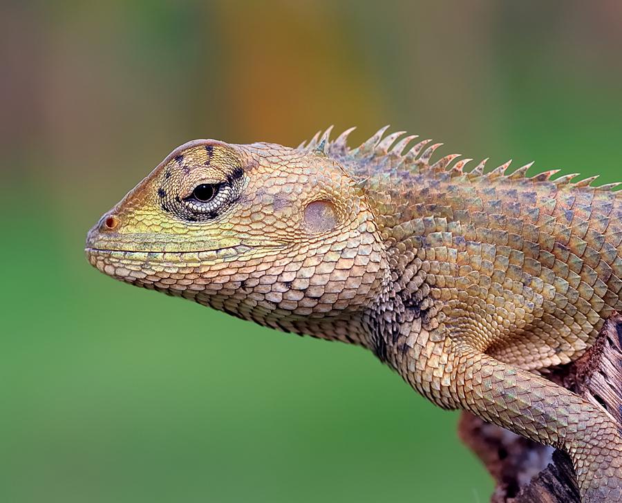 Gecko by Repindo Nasution - Animals Reptiles