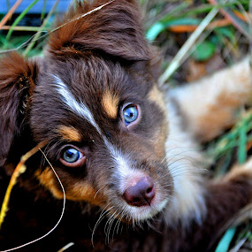 Bright Eyes by Kristen O'Brian - Animals - Dogs Portraits ( australian sheperd, grass, white, lake, puppy, brown, dog, mini )