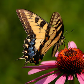 On a roll,  spent last Thursday at Brookside Gardens in MD and caught some great view of the butterflies and blooming flowers..... by Jim Schlett - Animals Insects & Spiders