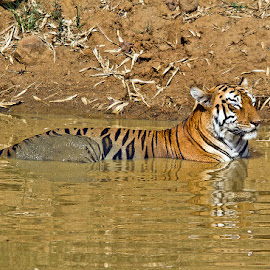 Maya the Queen of the Lake by Alan De Witt - Animals Lions, Tigers & Big Cats ( tiger in water, tiger, india )