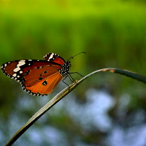Its rest time!!! by Prasant Kumar - Animals Insects & Spiders ( butterfly, nature, grass, green, insects, animal )