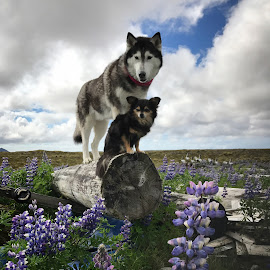 Sisters by Bjarklind Þór - Animals - Dogs Portraits