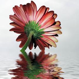 nice gerber by LADOCKi Elvira - Digital Art Things ( flower )