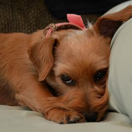 Annie Sue by Rhonda Kay - Animals - Dogs Portraits (  )