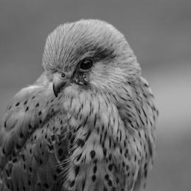 Kestrel by Garry Chisholm - Black & White Animals ( kestrel, raptor, bird of prey, nature, garry chisholm )