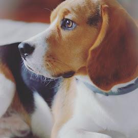 Matthew by Gergana Stefanova - Animals - Dogs Portraits ( beagle, light, dog, dog portrait )