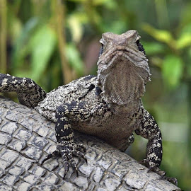 I'm too sexy... by Amanda Daly - Animals Reptiles (  )