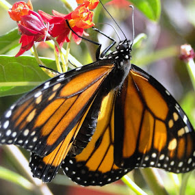 Monarch Butterfly by June Morris - Animals Insects & Spiders ( butterfly, animals, spiders, monarch, insects, animal, butterfy,  )