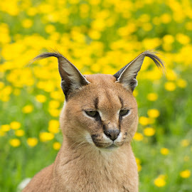Mr Caracal by Debbie Stone - Animals Lions, Tigers & Big Cats ( cats, zoo, yellow, bokeh,  )