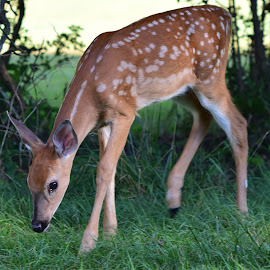 Whitetail Fawn by Mill Tal - Animals Other