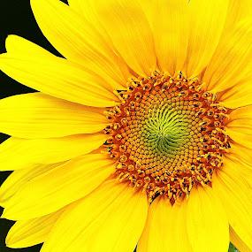 Sunflower by Virginia Folkman - Nature Up Close Gardens & Produce