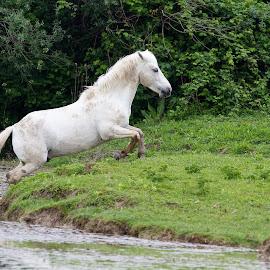 Cavallo Camargue by Mario Poddighe - Animals Horses
