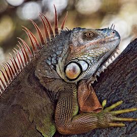 Wild Iguana by Lisa Coletto - Animals Reptiles ( orange, wild, reptile. iguana, basking )