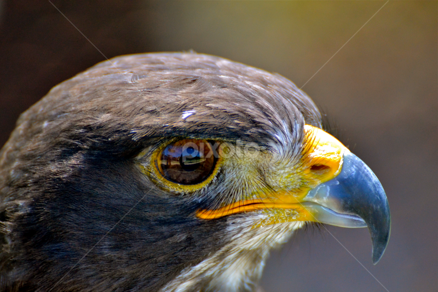 Falcon Close-up details. by Mauritz Janeke - Animals Birds ( animals, wildlife, falcon, close up, birds, eye, eyes,  )