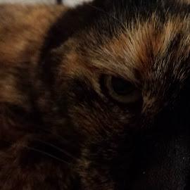 Spy by Jennifer Ablicki - Animals - Cats Portraits ( cat, whiskers, fur, feline, eyes )