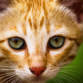 some wrds r spoken by eyes by Shahank Shashank N - Animals - Cats Portraits ( #eyes, #cats, #wild, #closeup, #photography )