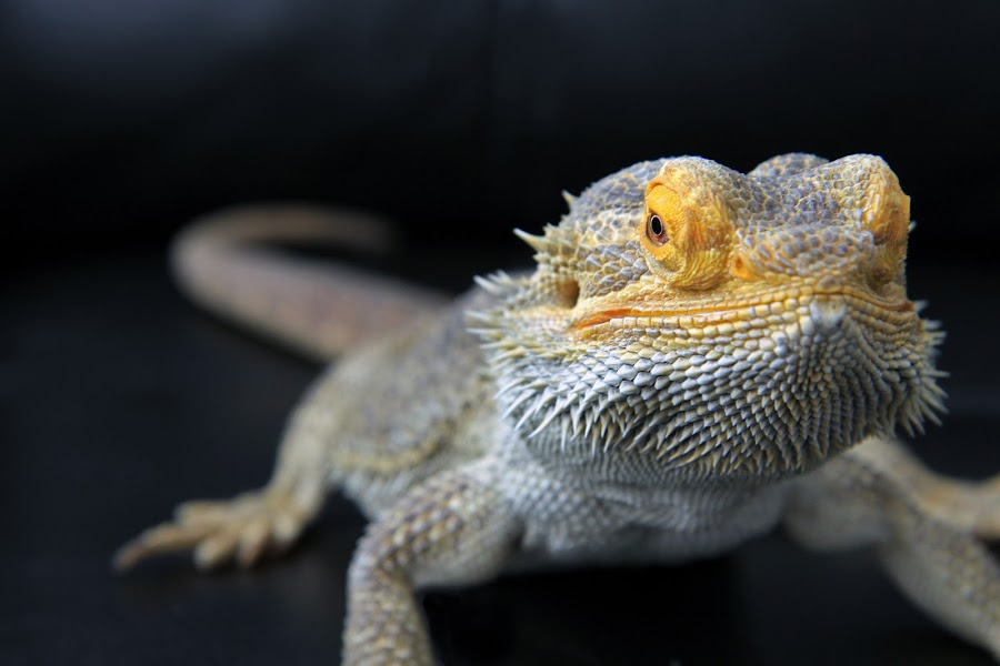 by Ron Harper - Animals Reptiles
