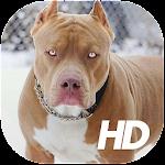 Pitbull Wallpaper HD Icon