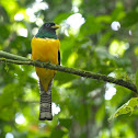 Gartered (Northern Violaceous) Trogon (male)