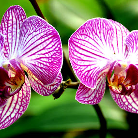orchids by SANGEETA MENA  - Flowers Flower Gardens