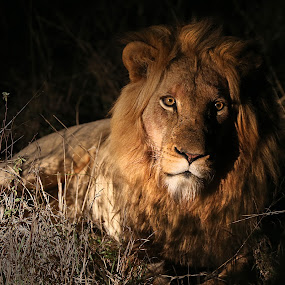 Lion at a night hunt by Aaron St Clair - Animals Lions, Tigers & Big Cats ( lion, safari, huntsouth africa, night, king )