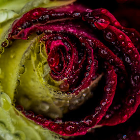 rose by Umair Khan - Nature Up Close Flowers - 2011-2013 ( , flower, nature, flowers )