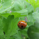Seven-spotted Lady Beetle