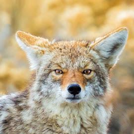 Wolf by Carl Albro - Animals Other Mammals ( wolf, mammal )