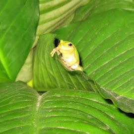 frog on leaf by Christine McDonagh Crawley - Animals Amphibians