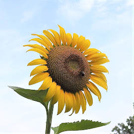 sunflower by Mary Gallo - Flowers Single Flower