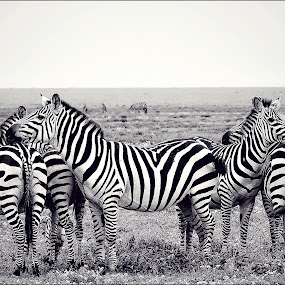 Zebra family by Savio Joanes - Animals Other