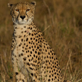 Solitary Cheetah by Sinclair Parkinson - Animals Lions, Tigers & Big Cats ( canon, big cat, cat, maasai mara, african, masai mara, wildlife, kenya, canon 7d, big cats, fat spanner photography, safari, plains, east, plain, africa, light, maasai, wild, spots, masai, mara, sinclair parkinson, east africa, cheetah, wilderness, 7d, endangered, big )