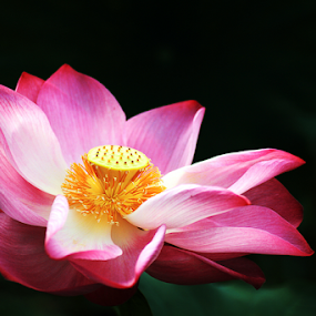 Lotus 20150530 by Steven De Siow - Flowers Single Flower ( lotus, floral photography, nature up close, flower, lotus flower )