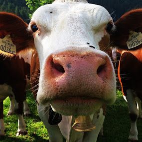 MUUH! by Raphi ^^ - Instagram & Mobile Android ( android, kühe, cows, photographi )