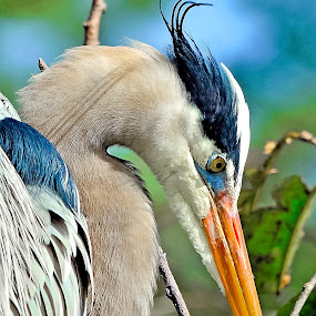Great Blue Heron by Alan Potter - Animals Birds